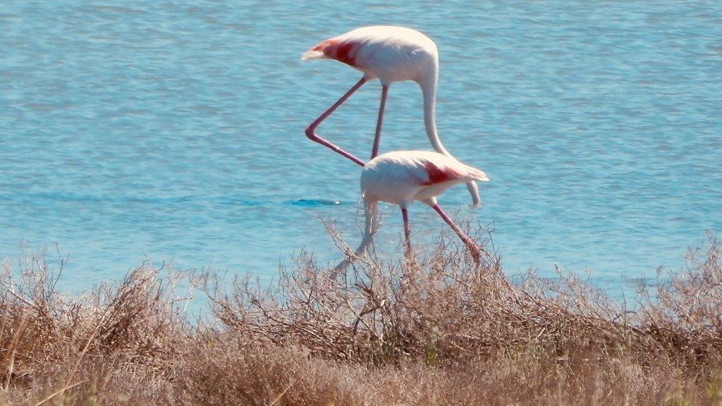 Flamingos auf San Pietro
